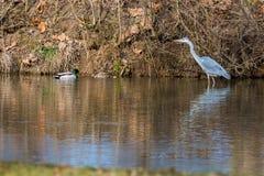 灰质大水禽的Ardea在水中趟过 库存照片