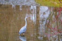灰质水禽的Ardea在水中趟过 免版税图库摄影