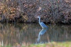 灰质水禽的Ardea在水中趟过 免版税库存照片