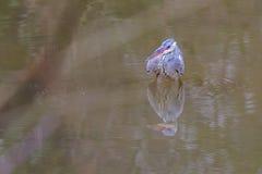 灰质水禽的Ardea在水中趟过 免版税库存图片