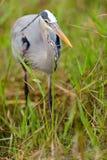 灰质灰色苍鹭的Ardea,大沼泽地国家公园 库存图片