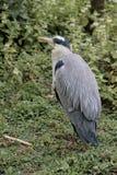 灰质灰色苍鹭的Ardea 免版税图库摄影