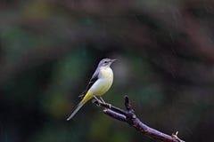 灰质的灰色motacilla令科之鸟 免版税库存图片