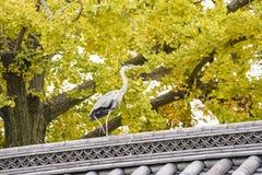灰质美丽的Ardea和把变成黄色的银杏树树 库存照片