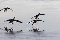灰雁分析服务公司在湖的分析服务公司着陆 免版税库存照片