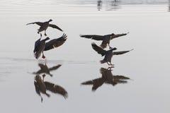 灰雁分析服务公司在湖的分析服务公司着陆 库存图片