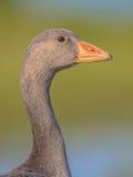 灰雁友好的鸟头画象  库存图片