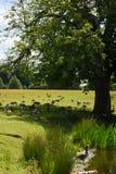 灰雁和加拿大鹅, Petworth议院,西萨塞克斯郡,英国 图库摄影