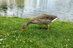 灰雁在草吃草在湖附近并且寻找食物 奥林匹克公园,德国,慕尼黑 灰色鹅 图库摄影