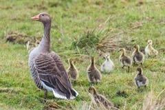 灰雁女性用8只小的鸭子 免版税库存图片