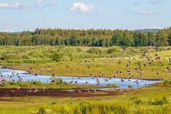 灰雁群在湖的 免版税库存照片