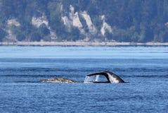 灰鲸科在皮吉特湾 免版税库存照片