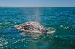 灰鲸科(灰鲸科robustus),墨西哥 免版税图库摄影