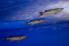 灰鲻鱼 免版税库存照片