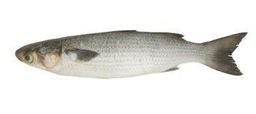 灰鲻鱼 库存照片