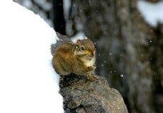 灰鼠冬天 免版税库存图片