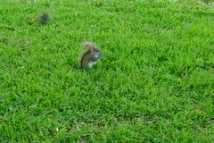灰鼠发现了某事在瓦尔登湖湖吃 免版税库存照片