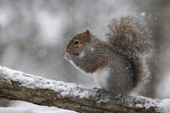 灰鼠发现在冬天雪风暴的食物 图库摄影