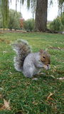 灰鼠吃东西 免版税库存图片