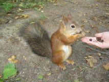 灰鼠吃从手的坚果 免版税库存照片