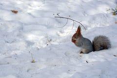 灰鼠吃在雪的坚果 图库摄影