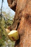 灰鼠吃着一个椰子(泰国) 免版税库存照片