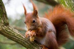 灰鼠吃着一枚坚果 库存照片