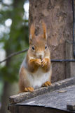 灰鼠吃着一枚坚果 库存图片