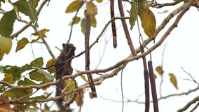 灰鼠吃着在树的种子 影视素材