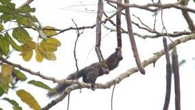 灰鼠吃着在树的种子 股票录像
