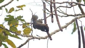 灰鼠吃着在树的种子 股票视频