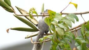 灰鼠吃着植物种子  影视素材