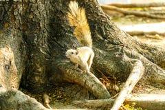 灰鼠吃食物 库存图片
