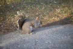 灰鼠吃 免版税库存照片
