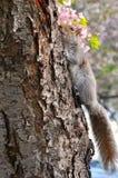 灰鼠和樱花 免版税库存图片