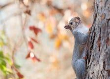 灰鼠和秋叶 免版税库存照片