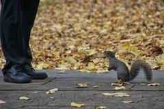 灰鼠和秋天叶子和人的腿 免版税库存照片