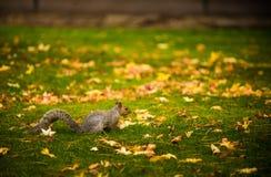 灰鼠和秋天颜色 免版税图库摄影