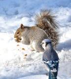 灰鼠和蓝色尖嘴鸟 图库摄影