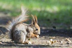 灰鼠和螺母 免版税库存图片