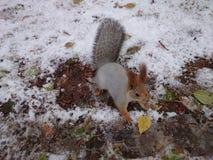 灰鼠和雪 免版税库存照片
