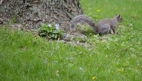 灰鼠和紫罗兰 库存照片