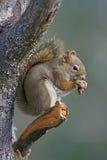灰鼠哺养 免版税库存图片