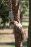 灰鼠喝水 免版税库存照片