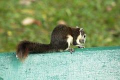 灰鼠在一把绿色椅子在公园 免版税库存图片
