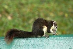 灰鼠在一把绿色椅子在公园 免版税图库摄影