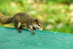 灰鼠在一把绿色椅子在公园 库存照片