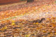 灰鼠在一条长凳下的秋天公园在叶子之间 免版税库存图片