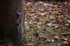 灰鼠在一棵树在秋天上升 库存图片