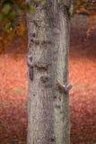 灰鼠在一棵树在秋天上升 免版税库存图片